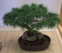 An Eastern Larch growing through a hole in a rock with a more traditional bonsai appearance.