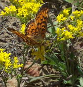 A moth that looks somewhat like a small monarch butterfly.