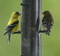Dad calls them Wild Canaries, but in reality, I believe they are  Evening Grosbeaks, <I>Coccothraustes vespertinus</I>, but I  am not positive.