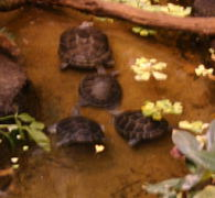 Probably Yellow spotted Amazone turtles, but I'm not positive.