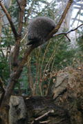A porcupine (Erethizon dorsatum) up in a tree, hard at work,  sleeping.