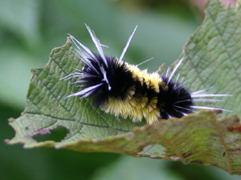 Spotted Tussock Moth (Thanks Lynette)<br />[munch munch  munch]
