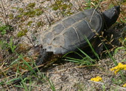 A snapping turtle (<I>testudinata chelydridae chelydra  serpentina</I>) - its shell was probably 30-40cm long.  The  tail is very reptilian.