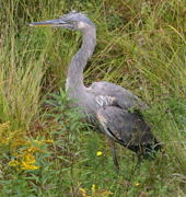 A tough-looking Great Blue Heron (<I>ardea herodias</I>) that  flapped down out of the forest and landed pretty much right in  front of us, much to its surprise.
