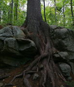 Tree roots will climb around rock to get a good grip in the soil.   Amazing.