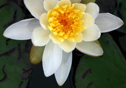The always beautiful White Water-lily (<I>Nymphaea odorata  Ait</I>).