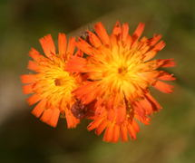 A close up of Orange Hawkweed (<I>hieracium aurantiacum L</ I>), a member of the Aster family, a fairly recent European  arrival - sometime after 1900.  It first arrived in North America  in 1875 (New York), and reached Canada in 1889.