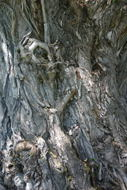 Willow tree bark.