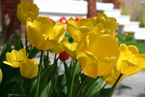 Tulips in the Market.. Guigues street?