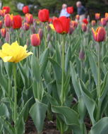 Tulips at the Canada and the World site (on Sussex, near the  Rideau Falls).
