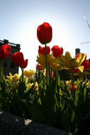 The central tulip is blocking the sun.