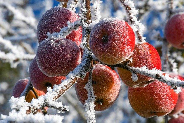 pommes des neige