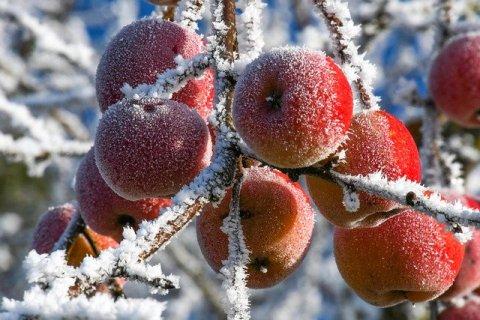 pommes neige