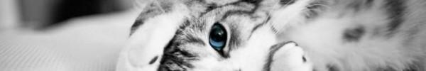 Chaton noir et blanc aux yeux bleus-Photo de couverture journal Facebook