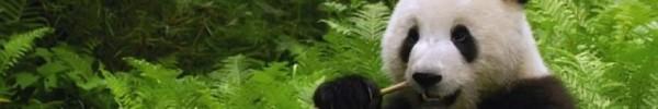 Joli Panda-Photo de couverture journal Facebook