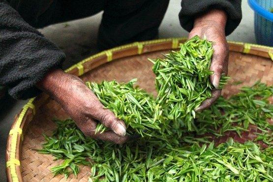 Récolte de feuilles de thé