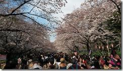 cerisiers-tokyo-filles-du-thé