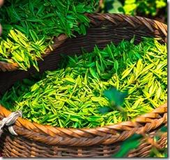cueillette-the-vert-chine-les-filles-du-the
