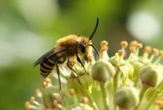 les-jardiniers-a-velo-paris-abeille-ile-de-france-paysagiste-jardinage-jardin-maladies-plantes-insectes-ecologique-alternative-fiche-auxiliaires-culture-jardin-terrasse-balcon