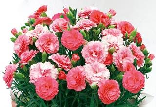 日比谷花壇,カーネーション,ピンク,さくらもなか,母の日,2020,