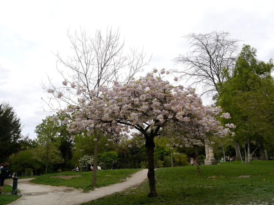 cericier blanc @ parc de Monceau