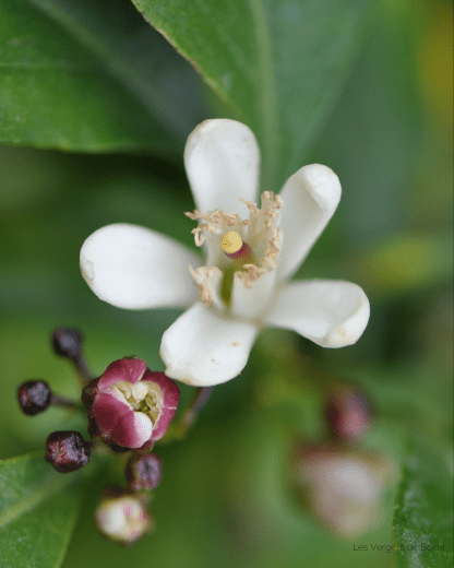 Fleur de Citron du Pays de Menton - LES VERGERS DE BOIRIE à Menton