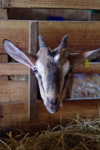 chèvres marçay (1)