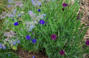fleur bourrache et centaurees bleuet des champs