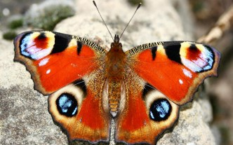 papillons-37-chenilles-papillons-animaux