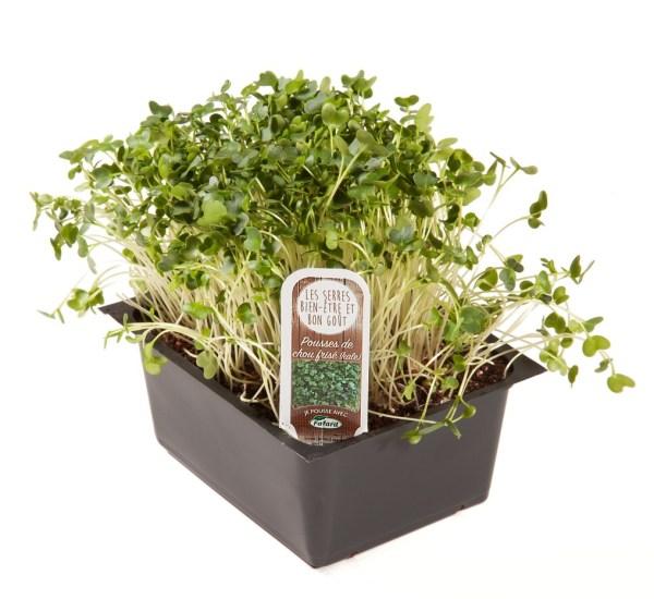 Kale  microgreens in tray