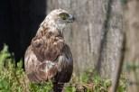 Circaète Jean-le-Blanc - Circaetus gallicusCircaète (CDS - Domaine des Oiseaux, Ariège)