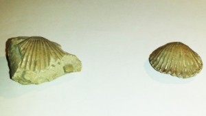 Bivalves fossiles