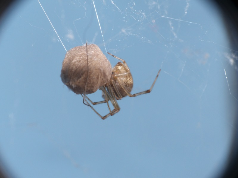 Parasteatoda tepidariorum et cocon