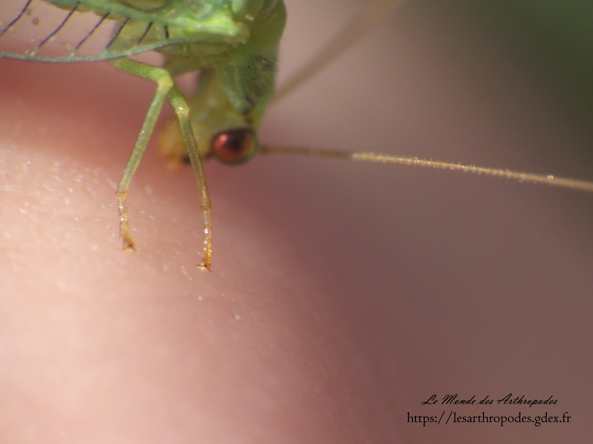 Chrysopa sp. on the tips of one of my finger, close-up on the eye