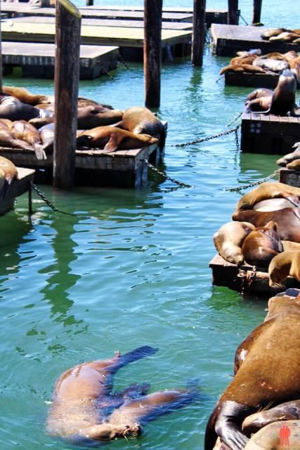 Lions Sea Pier 39 Visiter San Francisco