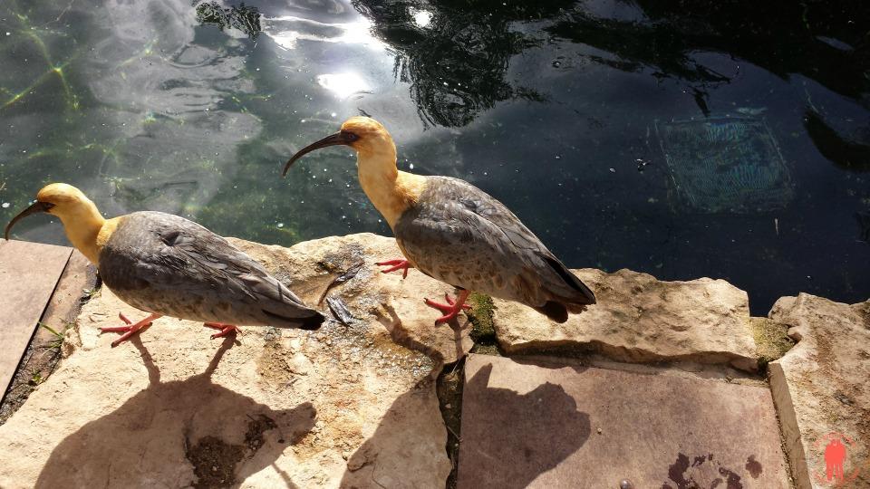 Bio parc doué la fontaine - Ibis américain