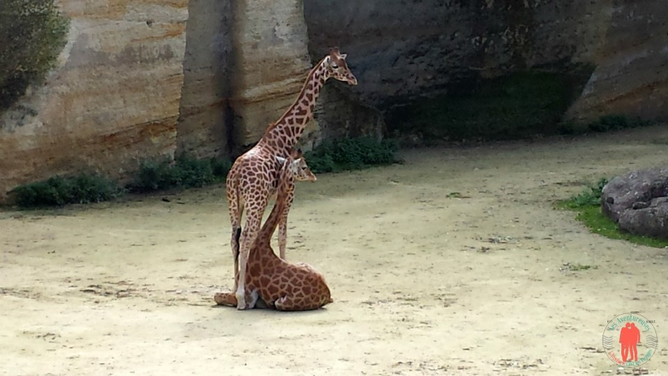 Duo de Girafe, Zoo_doué la fontaine
