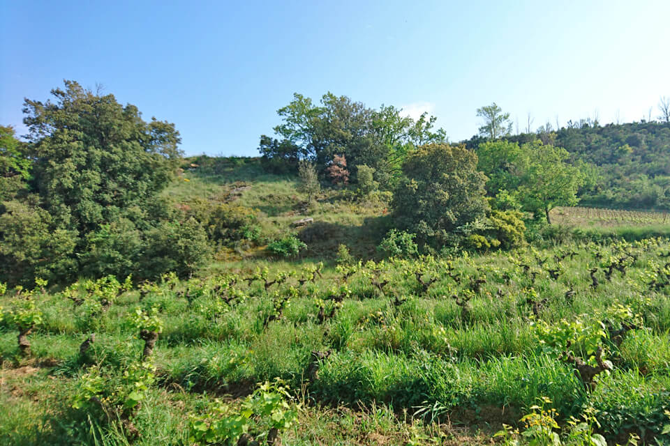 Vignes - Gîte d'Alon - Limoux - Chateaux Cathares