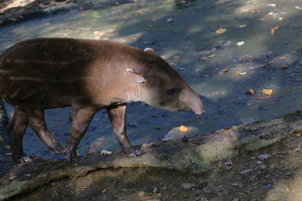 tapir-zoo