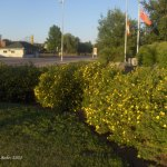 Yellow-flowered hedges