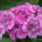 bugs on pink flowers