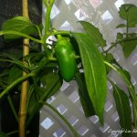 SecondMiniPepperHarvest-201 (This Greenhousey Thing Might Be Panning Out…)