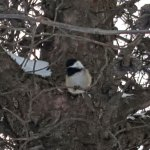 20180212_185536 (Chickadee = Squirrel)