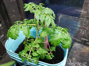Photo of tomato plant growing in a bucket