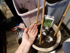 Planting pea plants in a pot to grow in the greenhouse