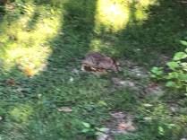 Bad Rabbit 1