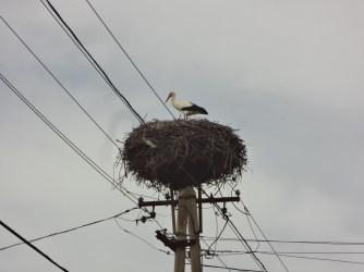 Une cigogne sur un poteau électrique, un spectacle pas si spécial que ça en Serbie.