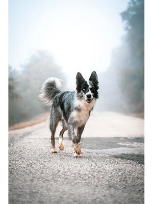 19. Belle photographie d'un berger australien noir et blanc aux yeux vairons, en promenade sur une route déserte dans la brume matinale. Idéal pour la décoration d'un salon ou d'une chambre, pour un intérieur zen et nature.