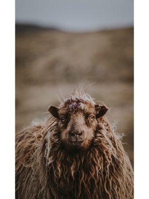 Portrait d'un mouton aux longs poils marrons ondulés et aux yeux transparents prit sur un sentier des îles Féroé. Idéal pour la décoration d'un salon ou d'une chambre, pour un intérieur zen et nature.