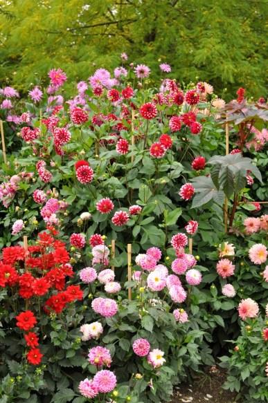 Dahlias en fleurs dans les allées de Giverny